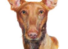 pharoah-hound